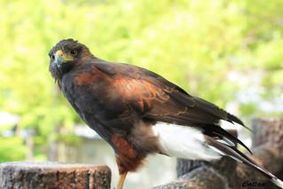 Golden Eagle - Japan