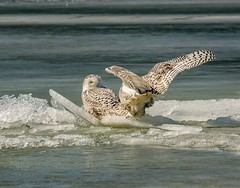 Ride the Wild Surf . . . (Dr. Farnsworth) Tags: snowyowl owl large bird white bars sisters ice waves behavior muskegon mi winter february2018 nationalgeographic worldwidegroup ngc
