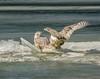 Ride the Wild Surf . . . (Dr. Farnsworth) Tags: snowyowl owl large bird white bars sisters ice waves behavior muskegon mi winter february2018 nationalgeographic worldwidegroup ngc