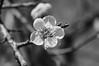 R0019434 (Mickey Huang) Tags: ricoh gxr grlensa1250mmf25macro taiwan 梅山公園 black white bw monochrome mono 黑白 plum blossom 梅花 flower