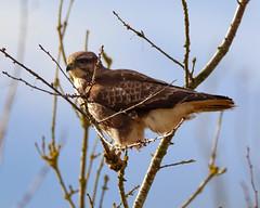 Buzzard (xDigital-Dreamsx) Tags: bird birdofprey nature raptor perch wildlife rural countryside