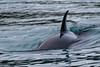 Kodiak Orcas (wyrickodiak_9) Tags: kodiak alaska island ocean whale killer killerwhale orca mammal marine wildlife