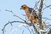 2017 Red-shouldered Hawk 12 (DrLensCap) Tags: redshouldered hawk temecula california ca bird raptor robert kramer