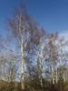 Silver Birches (Baractus) Tags: silver birch john oates earlswood lakes warwickshire uk