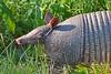 Armadillo Ears (NaturalLight) Tags: kickapoocavern statepark texas armadillo ears ninebanded