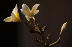 Plumeria Backdrop (AngelaC2009***) Tags: 2017 spring march florida riverview flower flowers plumeria plant pottedplant floweringtree canoneosdigitalrebelxt greatphotographers
