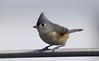 _U7A0966 (rpealit) Tags: scenery wildlife nature lk hopatcong tufted titmouse bird
