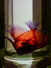 The Banner Fish (Steve Taylor (Photography)) Tags: bannerfish fish heniochusdiphreutes dye stain bonesred cartilage blue transparent skeleton translucent closeup glass liquid uk gb england greatbritain unitedkingdom london museum perspective alcohol jar naturalhistory naturalhistorymuseum refraction samplejar specimen