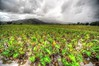 Taro Fields, North Kauai (Ed.Stockard) Tags: taro plant fields wet clouds hdr kauai hawaii hi hanaleibay farming grow rain photomatix storm weather
