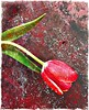 Day 027 (Day four of £3.25 spent on a bunch of tulips) (Clare Pickett) Tags: one leaf colour red texture flower tulip