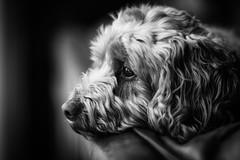 Pensive Poopy 2 (jayneboo) Tags: pensive poopy cockerpoo cockapoo dog pet friend bw mono portrait leica cl summiluxr 85mm 14