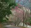 Mobilephone landscape (Yiing Juii) Tags: 碧絡角 櫻花 李花 苗栗 taiwan
