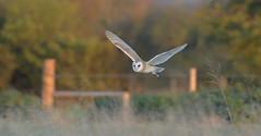 Barn Owl (KHR Images) Tags: barnowl barn owl tytoalba flying inflight hunting cambridgeshire fens eastanglia wildlife nature wild bird birdofprey nikon d500 kevinrobson khrimages
