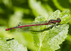 Large Red Damsel (Pyrrhosoma nymphula) (wayne.withers1970 (Not on much now 'cos of work)) Tags: red damsel damselfly small pretty wings fly flying mesh net leaves color colourful macromondays nature natural colour wild wildlife wales summer june flickr dof bokeh country countryside outside outdoors alive flora fauna insect macro canon sigma water green light lake river blur