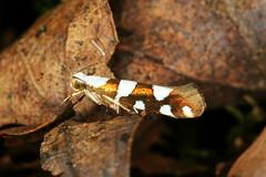 Argyresthia brockeella (chug14) Tags: unlimitedphotos animalia papillon butterfly arthropoda macro hexapoda insecta insecte lepidoptera yponomeutidae argyresthiinae