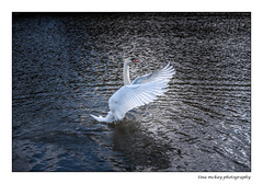 Out with the new camera and lens today at Pitfour lake in mintlaw (Tina Mckay Photography) Tags: water pitfourlake lake scotland aberdeenshire swan mintlaw