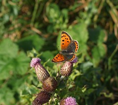 Small Copper butterfly (Philip_Goddard) Tags: smallcopper lycaenaphlaeas lycaena lycaenidae butterfly butterflies lepidoptera insects insecta nature naturalhistory southwestengland england unitedkingdom britain british britishisles greatbritain uk europe