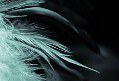 Flight (Nina Maryann) Tags: macromonday monochrome feather soft softlight