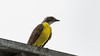 221.5 Roodkruintiran-20171109-J1711-64978 (dirkvanmourik) Tags: aves bienteveosociable birdsofperu carreteraamanu myiozetetessimilis peru2017 pillcopata roodkruintiran socialflycatcher vogel