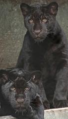 jaguar artis BB2A9063 (j.a.kok) Tags: jaguar jaguarcub jaguarwelp pantheraonca zwartejaguar blackjaguar rica artis animal southamerica zuidamerika mammal zoogdier dier kat cat predator