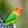 Fischer's lovebird (André Schlüter Photography) Tags: agapornis fischeri pfirsichköpfchen lovebird parrot nikon d850 papagei agapornisfischeri unzertrennliche sb900
