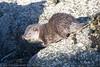 European Otter (Lutra lutra)- 09 Feb-18-28194 (tim stenton www.TimtheWhale.com) Tags: commonotter eurasianotter europeanotter islands landmammal lutralutra lutrinae mainland mammal mustelid notcaptive otter scotland shetland shetlandisles wild