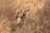 Sous le soleil de février (Eric Penet) Tags: biche élaphe animal avesnois deer france faune forêt mammifère mormal locquignol forest femelle doe wildlife wild nature nord sauvage mammal février hiver soleil cervidé cerfelaphe cerfélaphe cervus elaphus faon