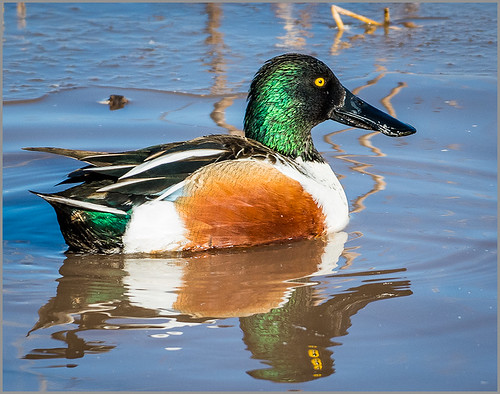 Reflections of a Northern Shoveler   by Karl Knapp - HM Class B Print - January 2018