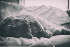 Sleeping Monday Away (flashfix) Tags: february052018 2018inphotos ottawa ontario canada nikond7100 28mm nikon flashfix flashfixphotography portrait naturallighting cat feline whiskers ears sunlight kittynose fyero nebelung ragamuffin ragdoll fluffy graycat blackandwhite monochrome naptime
