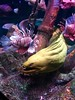 Green Moray Eel (maggiefhardy) Tags: green moray eel sealife sea aquarium dallas grapevine texas lionfish travel nature science education