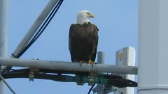MVI_6838_VIDEO_SX60_08FEB17_Eagle on Com Tower, Englewood FL N 26.89802 W 82.31094 731 ft (gre99qd) Tags: video eagle canonpowershotsx60hs canon sx60hs canonsx60hs sx60