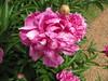 Flower (Itinerant Wanderer) Tags: monticello thomasjefferson charlottesville virginia plantation gardens flower poppy