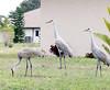 Sandhill Crane Family (Grus canadensis); Punta Gorda, FL, [Lou Feltz] (deserttoad) Tags: bird wildbird nature pond wader flight crane florida behavior