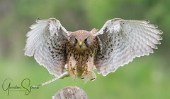 Kestrel About To Strike (GS Bird Photography And More) Tags: nikond4 locations may2017 date falcons birdfamilynames scientificbirdnames commonbirdnames poolbridgefarmcrockeyhill equipmentused falcotinnunculus handheld commonkestrel