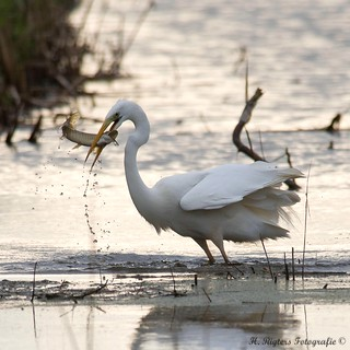 Grote Zilverreiger - Western Great Egret - Ardea alba