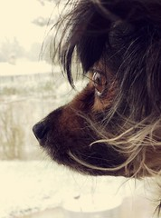Watching snow fall is mesmerizing (MDawny72) Tags: snow snowday snowfall dog mydog itsadogslife mustlovedogs profile winter 2018 2018inphotos february182018 weather myfavoritethings mywashington myphotography sweet furtails furbaby cargo pomchi