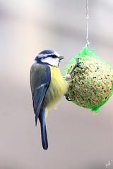 Mésange bleue (nicéphor) Tags: tits tamron150600 canon eos50d wildlife meisen mésanges passereaux passériformes birds oiseaux