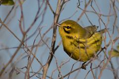 Prairie Warbler (schockenlinda) Tags:
