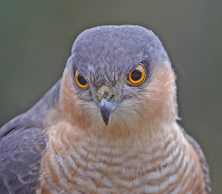 SPARROWHAWK ....Male....Looking through the kitchen window....Gladys, I had just finished washing up...lol