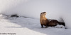 Do You Smell Fish?! (OJeffrey Photography) Tags: otters yellowstonenationalpark ynp yellowstoneriver snow ice panorama pano nikon d500 ojeffreyphotography ojeffrey jeffowens