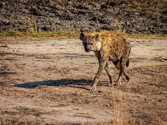 Skulking (nomadsnature) Tags: krugernationalpark mpumalanga southafrica spring wildlifephotography