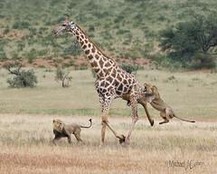 The Leap-8991.jpg (MyKeyC) Tags: africa matamata giraffekill southafrica vincentgrafhorst malelion giraffe kgalagaditransfrontierpark hunt kgalagaditransformationalpark lion wildlifephotographeroftheyear