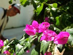 Bugambilias (epugaa) Tags: sunshine macro photo campeche travel méxico flor bugambilias