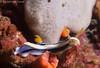 26022018-_1240433 (chevalbenjamin) Tags: philippines visayas bohol underwater underwaterphotography plongéesousmarine scubadiving dive nudibranche seaocean proximacro