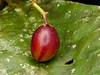 P1040905 (Eerika Schulz) Tags: frucht fruit fruta puyo ecuador
