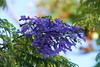 Clear blue (Steenjep) Tags: madeira portugal ferie holiday urlaub tenerife santacruz jacaranda tree blue