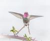 Natures Yoga Bird. (Omygodtom) Tags: wild wildlife yoga natural nikkor nature usgs ngc annashummingbird bird nikon dof d7100 contrast digital nikon70300mmvrlens outside oaksbottom
