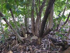 Myrtaceous shrub in the African area, Mt Coot-Tha botanic gardens (tanetahi) Tags: southafrican shrub myrtaceae eugenia brisbanebotanicgardens mtcoottha tanetahi