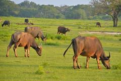 Sri_Lanka_17_181 (jjay69) Tags: srilanka ceylon asia indiansubcontinent tropical island yala yalanationalpark nationalpark wildlifetour wildlifespotting animalviewing viewing wildlife