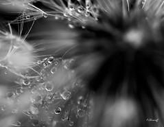 DENTDELION S'inventent un mode à part- invited bokeh nature (FLOCVROFF) Tags: dentdelion gouttes macro 50mm canon nature pluie rosee dandelion